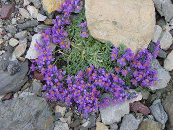 Linaria alpina / Alpenleinkraut - Bergblumen, Alpenpflanzen